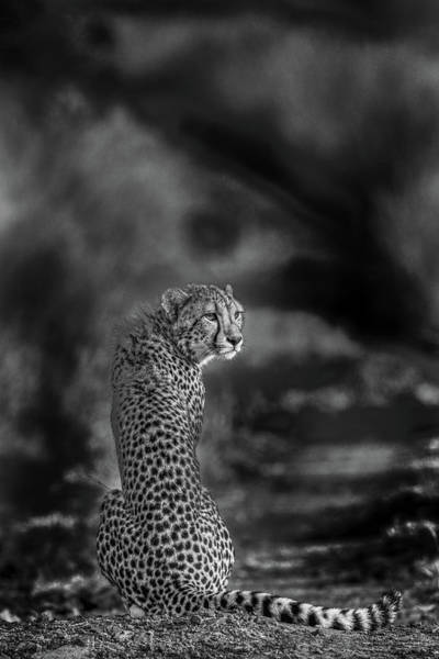 Feline Photograph - The Look Back by Jaco Marx
