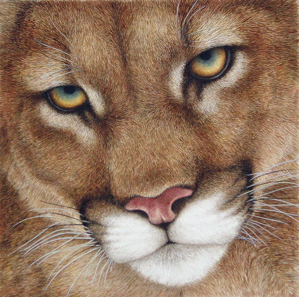 Mountain Lion Painting - The Look Cougar by Pat Erickson