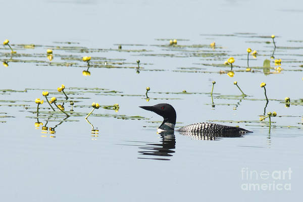 Photograph - The Loon Bachelor by Andrea Kollo