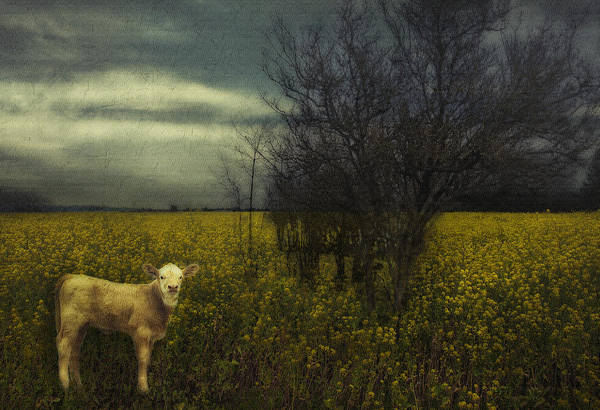 Photograph - The Lost Calf by Belinda Greb
