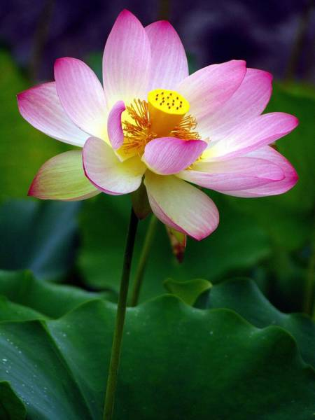 Photograph - The Lotus by Carol Montoya