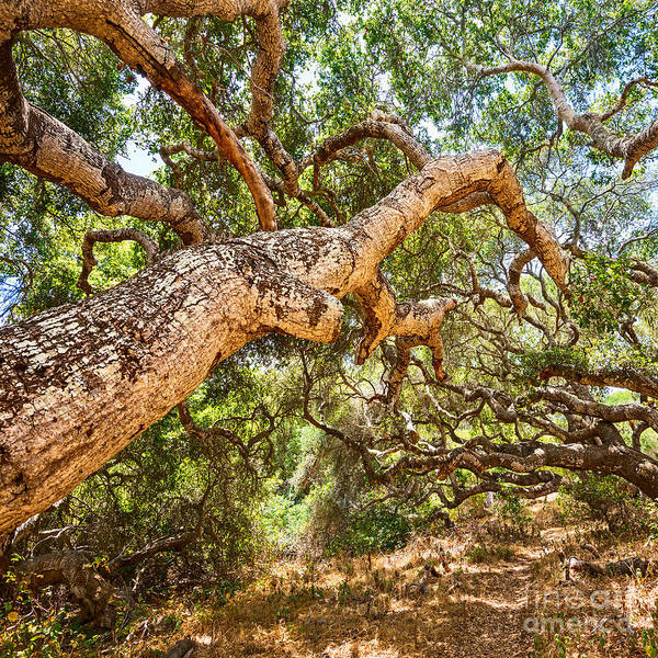 Coast Live Oak Photograph - The Magical And Mysterious Trees Of The Los Osos Oak State Natur by Jamie Pham