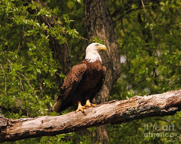 Photograph - The Majestic Eagle I by Jai Johnson