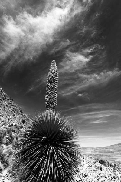 Bromelia Photograph - The Majestic Puya Raimondii Plant In Flower by James Brunker