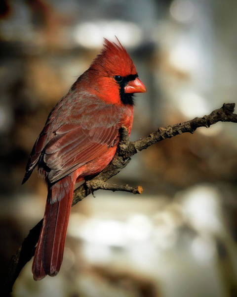 Wildbird Photograph - The Male Northern Cardinal by Lana Trussell