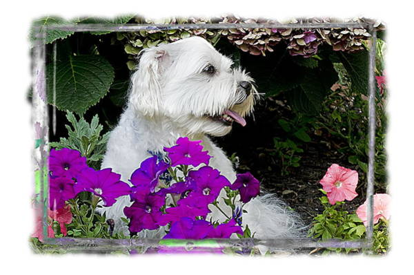 Maltipoo Wall Art - Photograph - The Maltipoo Bailey Relaxing In The Petunias by Harold Bonacquist