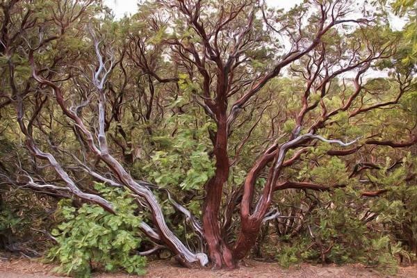 Wall Art - Photograph - The Manzanita Tree by Heidi Smith