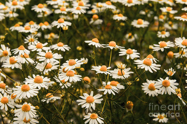 Photograph - The Margarite Meadow by Hannes Cmarits