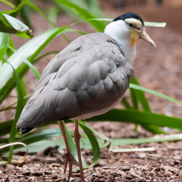 Photograph - The Masked Lapwing Vanellus Miles Previously Known As The Mask by Alex Grichenko