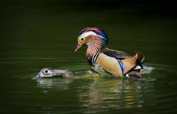 Mandarin Duck Photograph - The Mating Mandarin Ducks  by Saija  Lehtonen