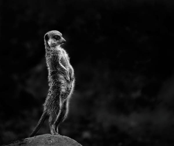 Wall Art - Photograph - The Meerkat by Greetje Van Son