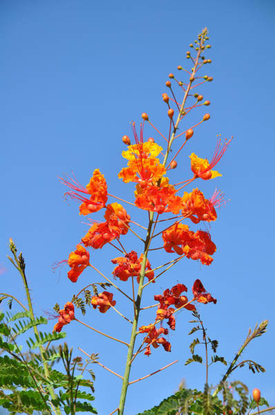 Photograph - The Mexican Bird Of Paradise Against Blue by Kirt Tisdale