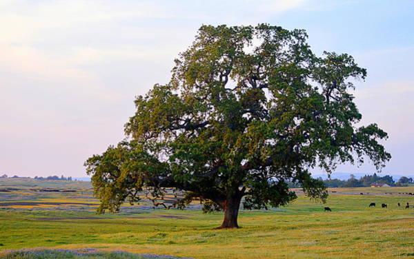 Photograph - The Mighty Oak by AJ  Schibig
