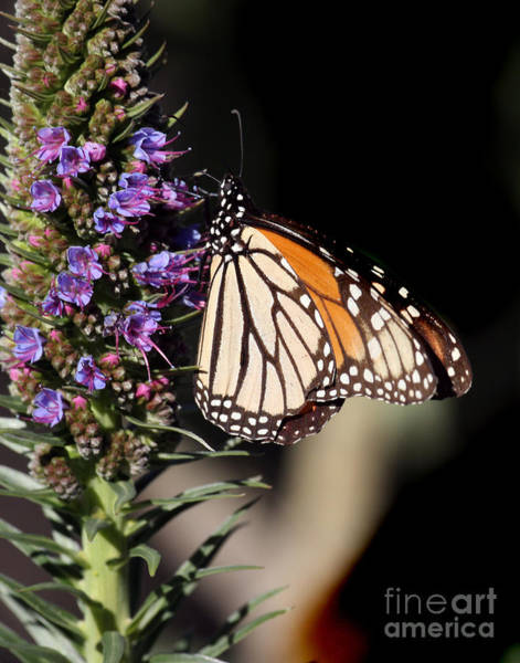 Photograph - The Monarch Butterflie by California Views Archives Mr Pat Hathaway Archives