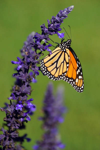 Photograph - The Monarch by Leda Robertson