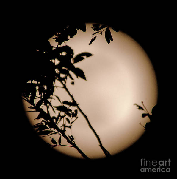 Photograph - The Moon And Pecan Trees by Mae Wertz