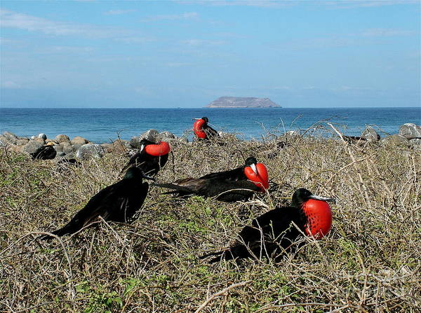 North Seymour Island Photograph - The Most Handsome by Fabian Romero Davila