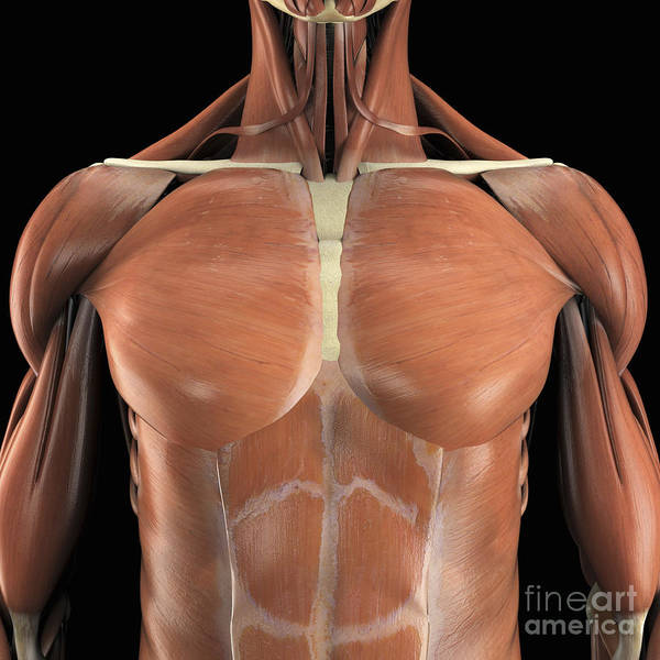 External Abdominal Oblique Photograph - The Muscles Of The Chest by Science Picture Co