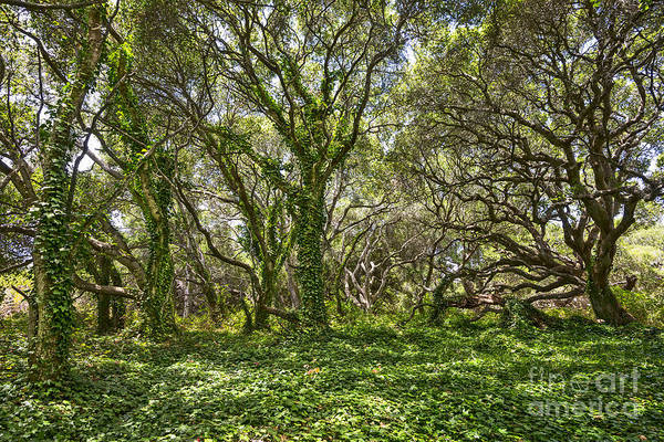 Coast Live Oak Photograph - The Mysterious Forest - The Magical Trees Of The Los Osos Oak Reserve. by Jamie Pham
