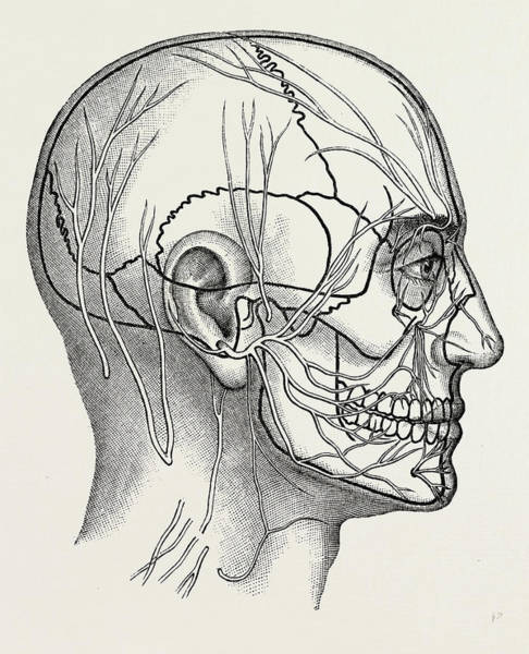 Nerves Drawing - The Nerves Of The Face And Of The Side Of The Head by Litz Collection