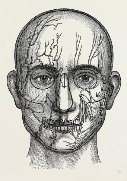 Nerves Drawing - The Nerves Of The Face, Medical Equipment by Litz Collection