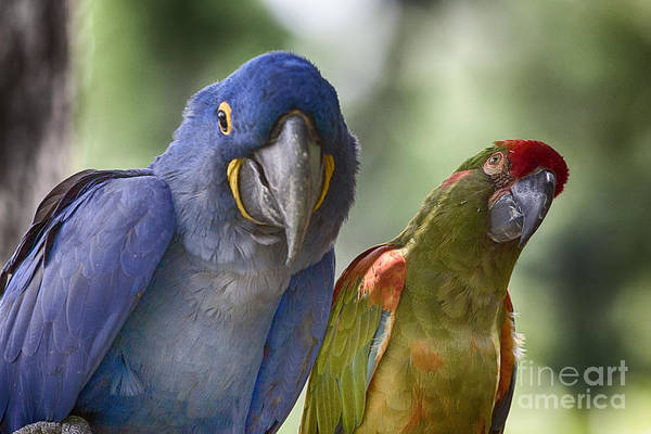 Hyacinth Macaw Photograph - The Odd Couple V5 by Douglas Barnard