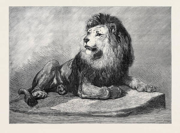 Old Style Drawing - The Old Lion Of The Zoological Societys Collection London by English School