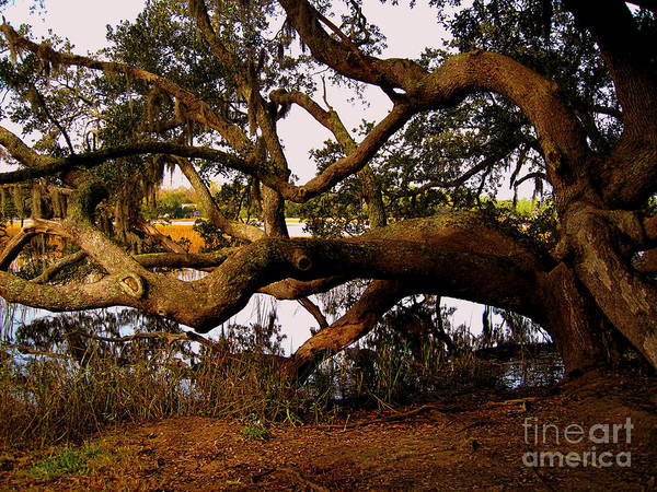 Photograph - The Old Tree At The Ashley River In Charleston by Susanne Van Hulst