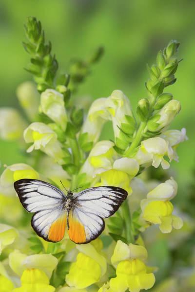 Cepora Photograph - The Orange Gull Butterfly, Cepora by Darrell Gulin