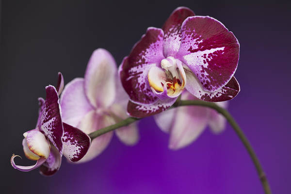 Photograph - The Orchid Watches by Jon Glaser
