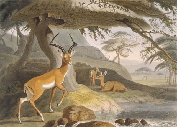 Riverbank Drawing - The Pallah, 1804-05 by Samuel Daniell