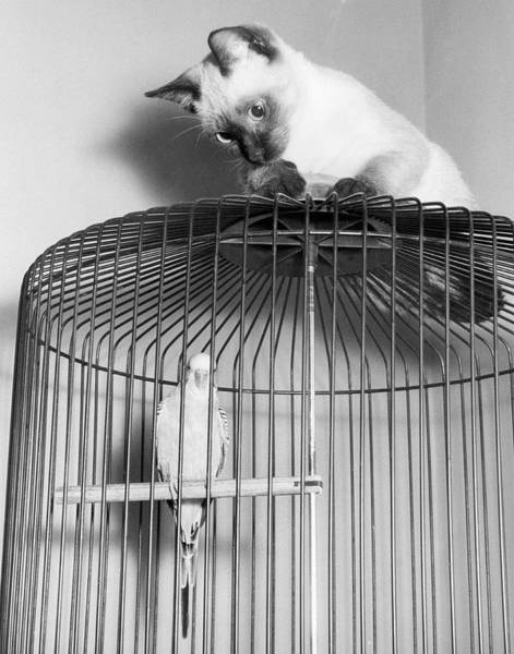 Parakeets Photograph - The Parakeet And The Cat by Underwood Archives