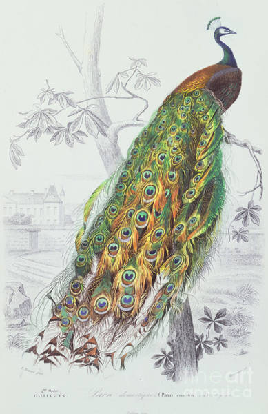 Plumage Wall Art - Painting - The Peacock by A Fournier