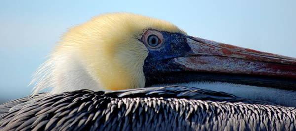 Photograph - The Pelican by AJ  Schibig