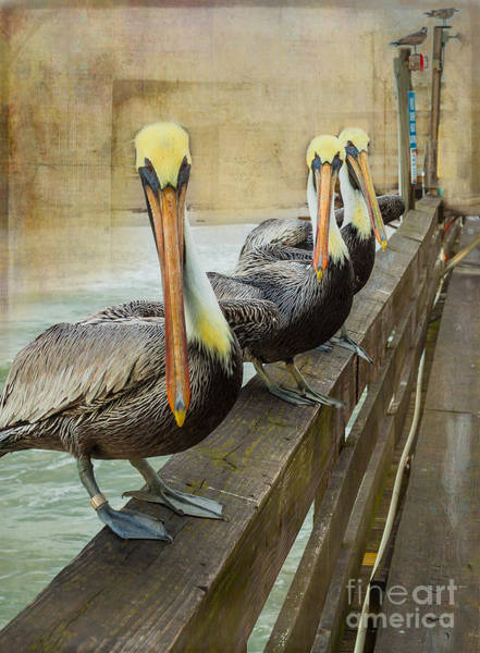 Wall Art - Photograph - The Pelican Gang by Steven Reed