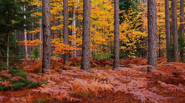 Photograph - The Pine Woods by Rachel Cohen