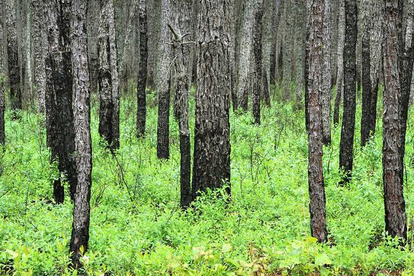 Photograph - The Pines by Dawn J Benko