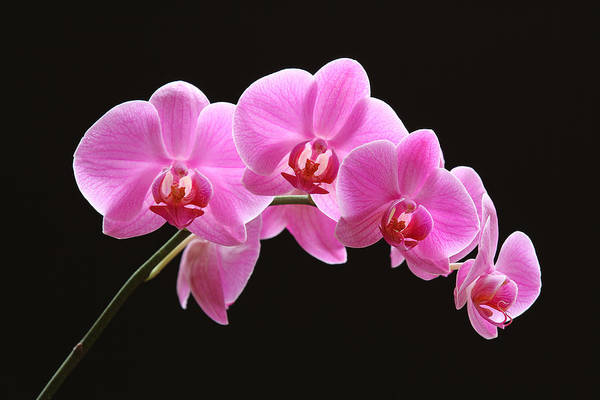 Neon Pink Photograph - The Pink Orchid by Juergen Roth