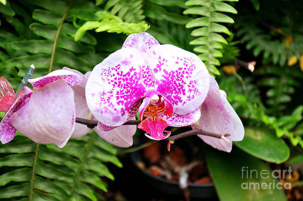 Photograph - The Pink Puffy Orchid by Andee Design