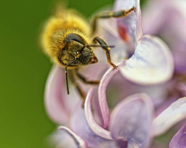 Honeybees Wall Art - Photograph - The Pollinator by Susan Capuano