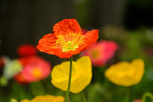 Photograph - The Poppy by Jeanne May