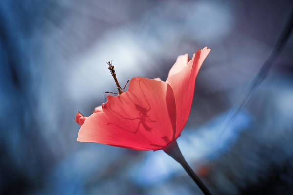 Wall Art - Photograph - The Poppy Master by Fabien Bravin