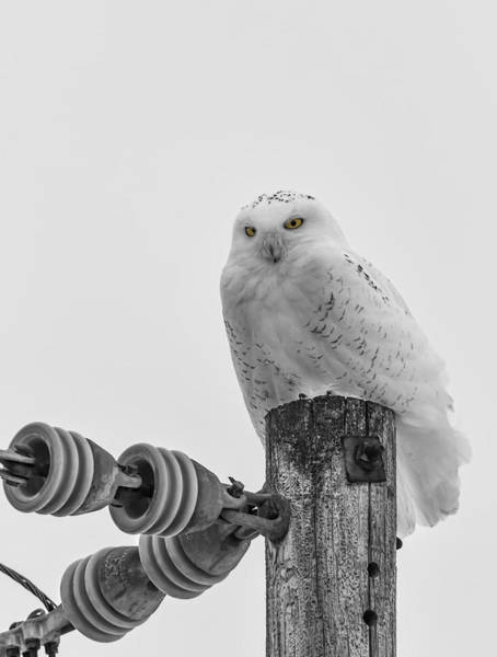 Photograph - The Power Of The Owl Black And White by Thomas Young