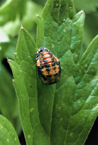 Pupa Photograph - The Pupa Of The Seven-spotted Ladybird by Dr Jeremy Burgess/science Photo Library