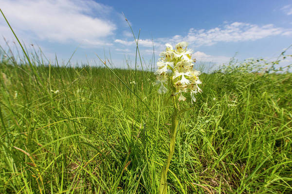Tallgrass Wall Art - Photograph - The Rare Western Prairie Fringed Orchid by Chuck Haney
