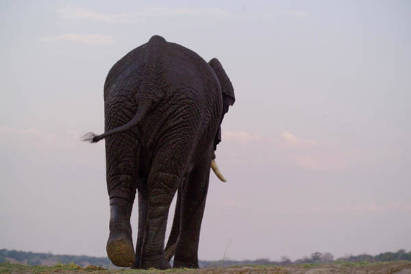 Wall Art - Photograph - The Rear End Of An Elephant In Chobe by Jonathan Kingston
