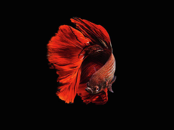 Aquarium Photograph - The Red by Andi Halil