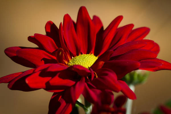 Photograph - The Red Blossom by Andreas Levi
