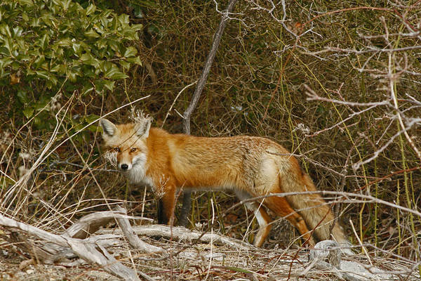 Photograph - The Red Fox by Kristia Adams
