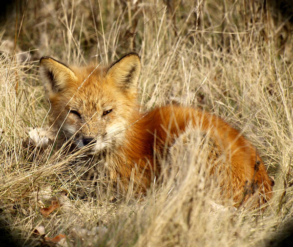 Photograph - The Red Fox by Thomas Young